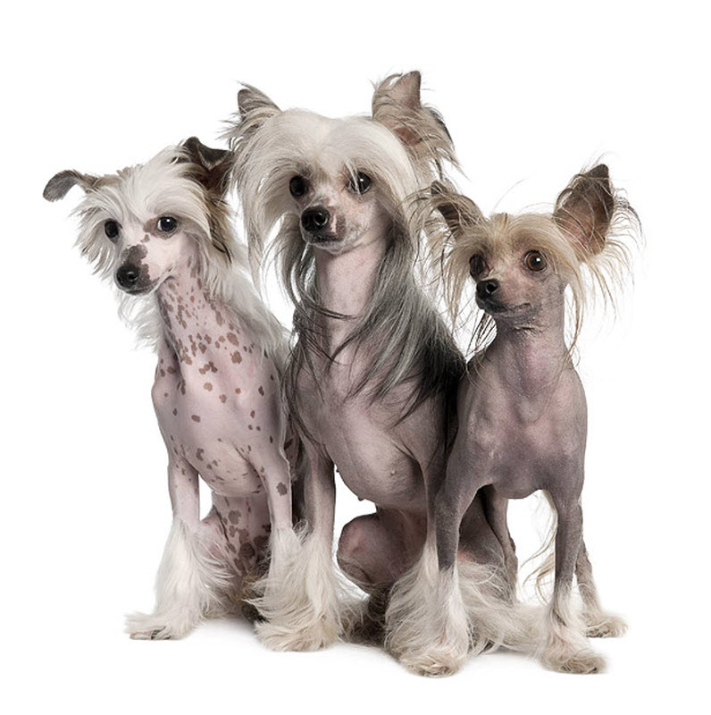 Adult poddle mixe dogs