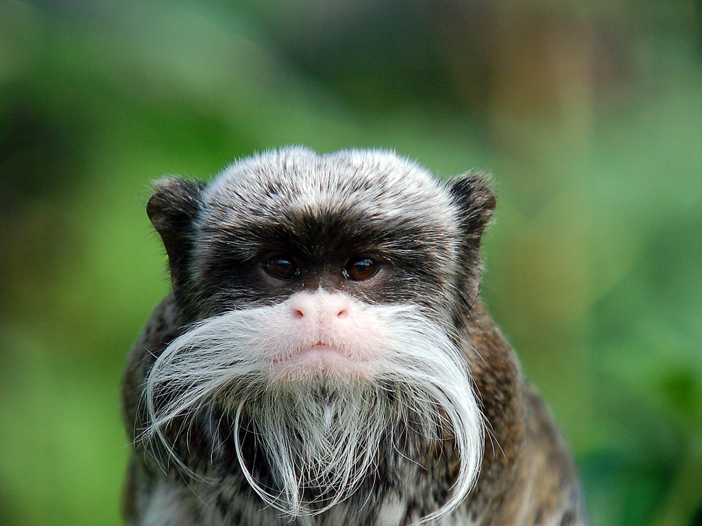 a study on the emperor tamarin monkey in eastern peru
